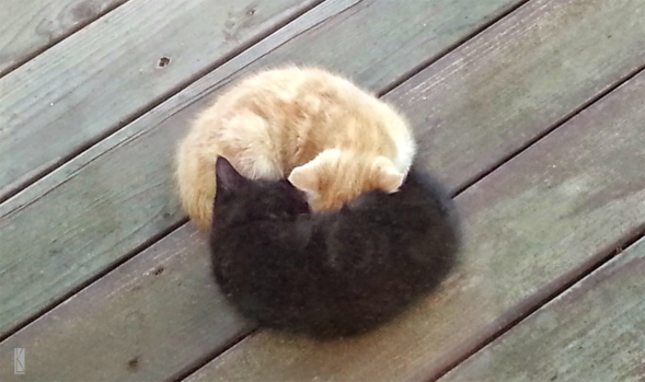 "Two kittens, one black, one golden, sleeping; curled in a ""Yin Yang"" bundle."